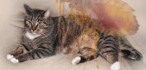 Что делать, если у кота появились блохи