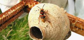Жизнь матки шершней – самой главной самки в гнезде