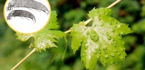 Виноградный клещ и способы борьбы с ним