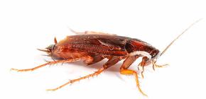 Чем лучше травить тараканов в квартире?