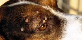 Что делать, если клещ укусил собаку