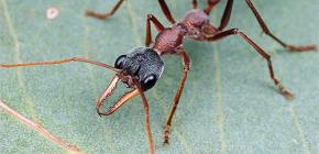 О муравьях-бульдогах