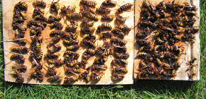 Как эффективно бороться с шершнями и вывести их на даче или пасеке