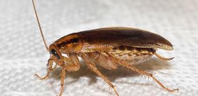 Выясняем, куда делись тараканы и почему они исчезли
