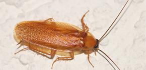 Какие бывают ловушки для тараканов и насколько они эффективны