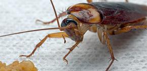 Народные средства для борьбы с тараканами