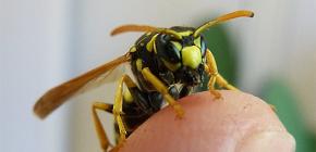 Последствия укусов ос: чем могут быть опасны нападения этих насекомых?