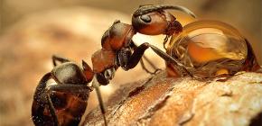 Фотографии различных видов муравьев и интересные особенности их жизни