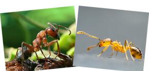 Про рыжих лесных и домашних муравьев, а также их отличия