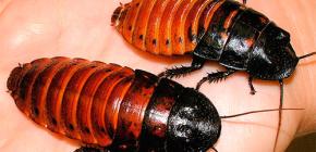 О жизни мадагаскарских шипящих тараканов и их содержании в домашних условиях