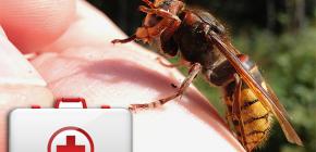 Что делать при укусе шершня и насколько это может быть опасно для здоровья