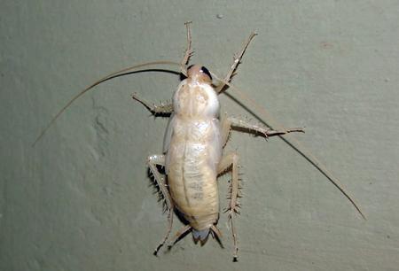 Белые тараканы в квартире – что это за альбиносы такие?