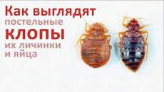 Как выглядят клопы, их личинки и яйца
