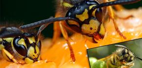 Чем обычно питаются осы и едят ли они мясо?
