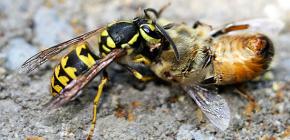 Методы борьбы с осами на пасеке: как можно спасти пчел от нападений