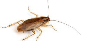 Фото различных видов домашних тараканов