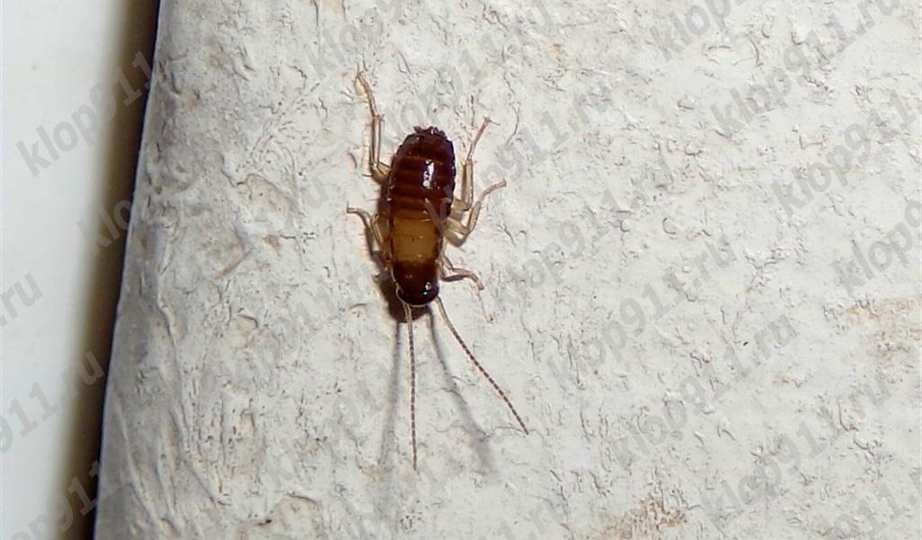 Нимфа таракана не имеет крыльев