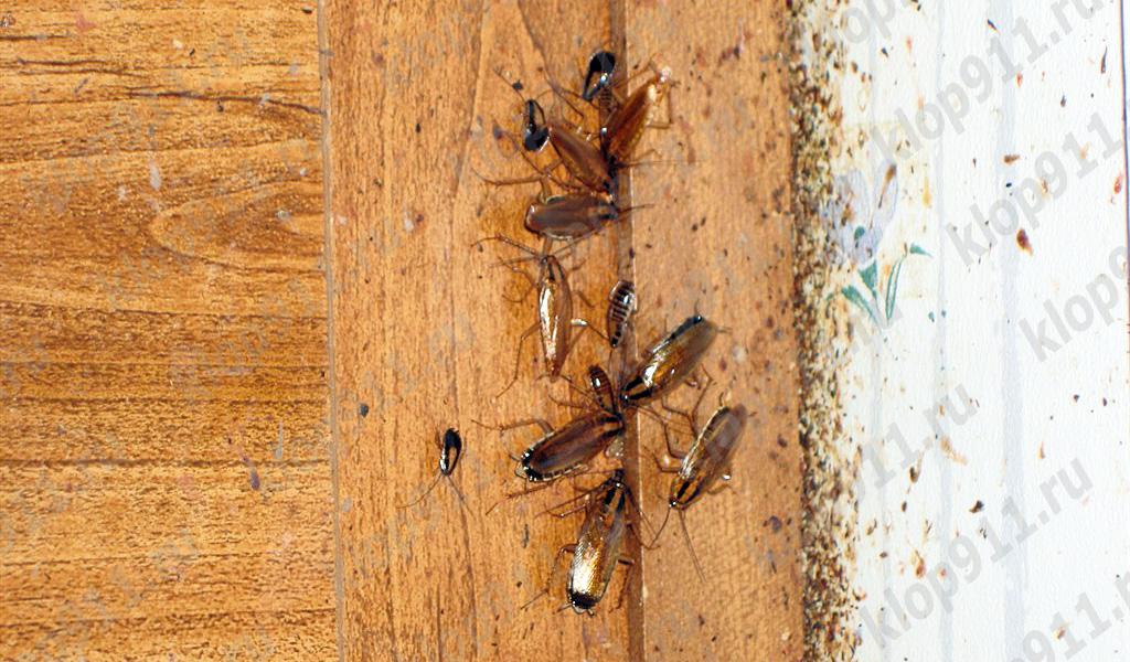 Бактерии на лапках тараканов