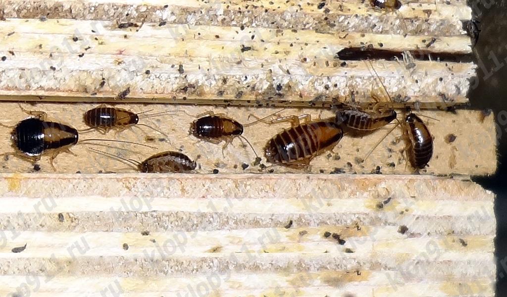 Скопление нимф рыжего таракана в мебели