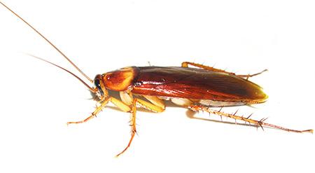 Тараканы прочно вошли в быт человека