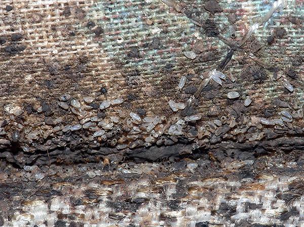 Даже высокоэффективные инсектициды, как правило, не убивают яйца клопов, и из этих яиц в первое время будут вылупляться личинки.