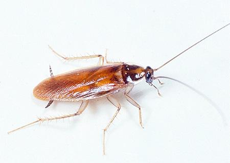 Рыжий таракан (прусак)
