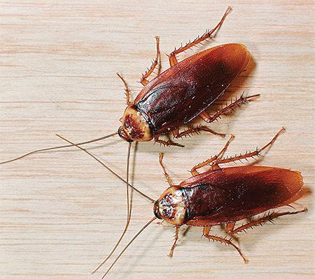 Тараканы мужского пола