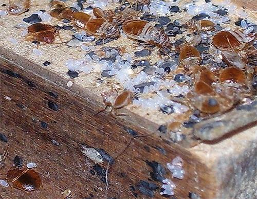 Гнездо постельных клопов: увеличенное фото