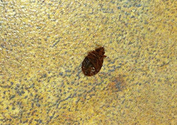 Зачастую против клопов оказываются вполне эффективны дешевые инсектицидные средства, продающиеся в хозяйственных магазинах.