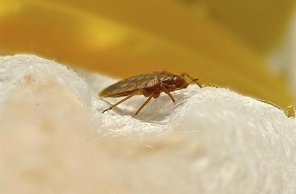 Необходимо иметь в виду, что если у соседей есть клопы, то паразиты могут повторно проникнуть в помещение...