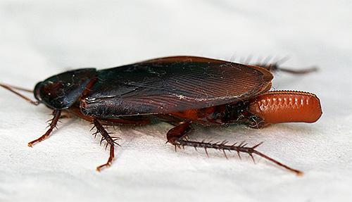 Американский таракан с оотекой