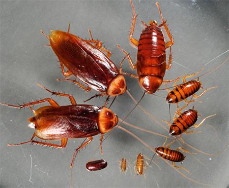 На фото видны взрослые особи и личинки американского таракана