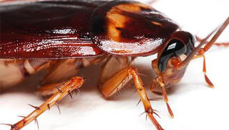Американские тараканы способны кусать спящих людей