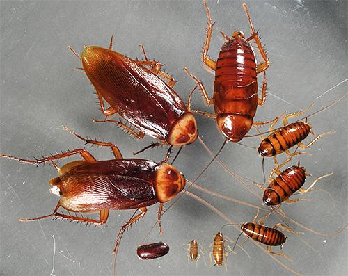 Личинки (нимфы) американского таракана