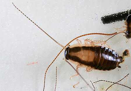 Личинка рыжего таракана