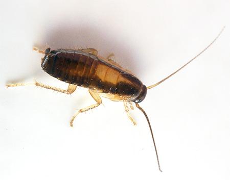 На фото хорошо видна характерная окраска личинки рыжего таракана