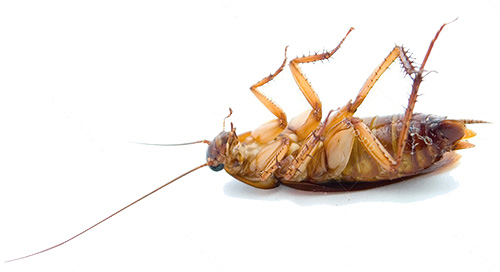 Тараканы погибают при низкой температуре