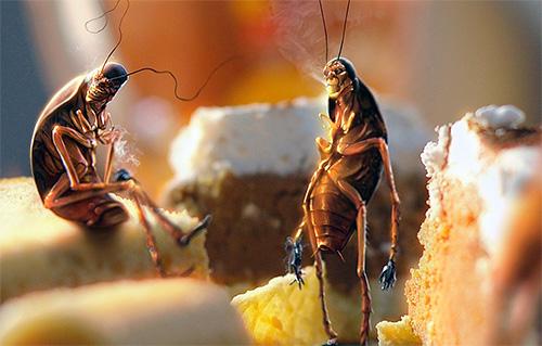 Неубранные остатки пищи способствуют размножению тараканов