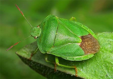Зеленый клоп вонючка
