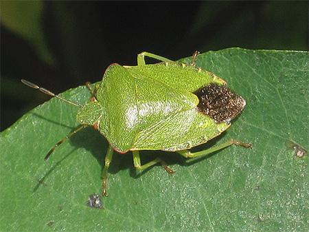 Паломена зеленая