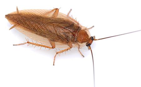 На конце брюшка таракана видны церки