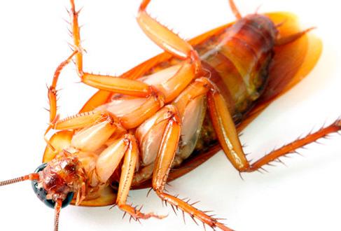 Способны ли тараканы кусать людей