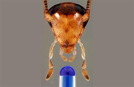 Голова таракана