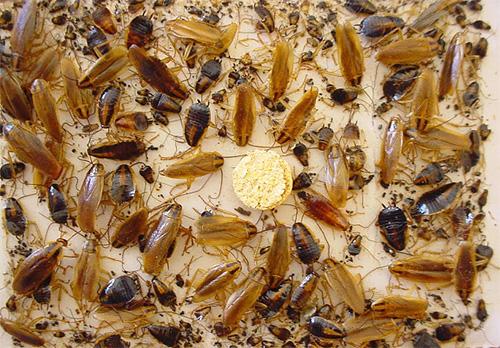 Тараканы, попавшиеся в клеевую ловушку