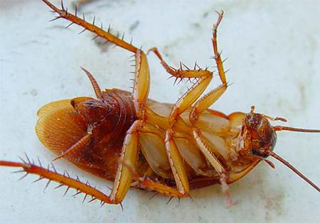 Сколько способны жить тараканы?
