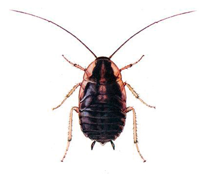 Нимфа (личинка) таракана