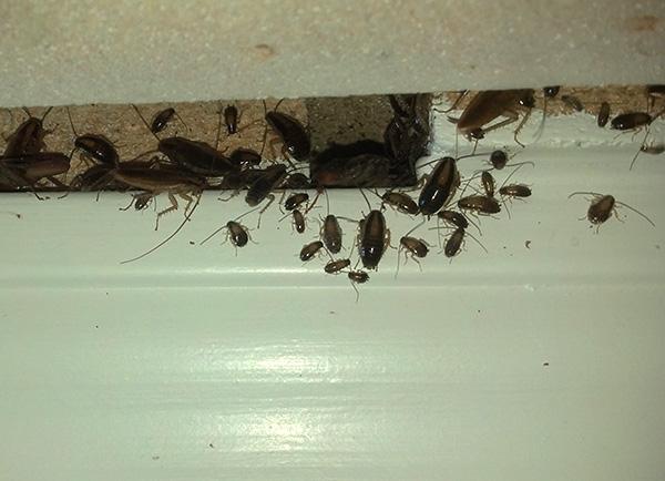 Несмотря на то, что инсектицидные гели уничтожают тараканов медленно, тем не менее, они являются одними из наиболее эффективных средств борьбы с этими вредителями.