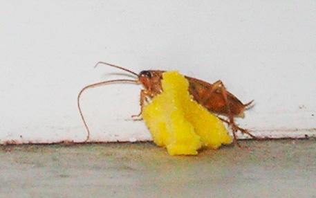 Таракан ест отравленную приманку с борной кислотой
