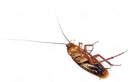 От тараканов можно избавиться путем