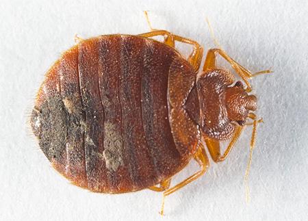 Жгущий клоп (Cimex Hemipterus)